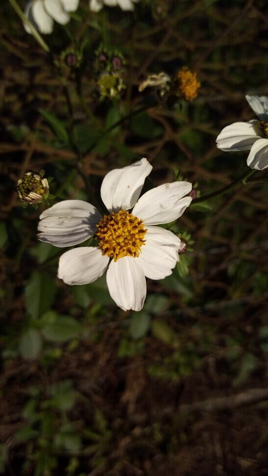 Foto-de-uma-flor-feita-com-o-Vernee-Thor